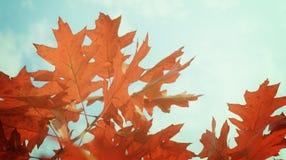 Fogli di colore rosso nella sosta di autunno Fotografia Stock Libera da Diritti