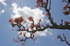 Fogli di colore rosso in primavera Immagine Stock Libera da Diritti