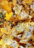 Fogli di inverno. Fotografia Stock Libera da Diritti