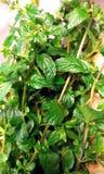 Fogli di menta verdi freschi Immagini Stock
