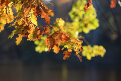Fogli di oaktree di autunno Immagine Stock