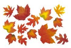 Fogli di seta dell'acero e della quercia su bianco Immagini Stock Libere da Diritti