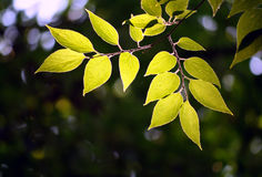 Fogli di un albero ad una luce solare fotografia stock libera da diritti
