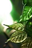 Fogli di verde Fotografie Stock Libere da Diritti
