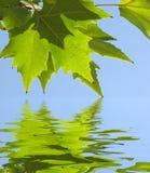 Fogli di verde Fotografia Stock Libera da Diritti