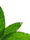 Fogli di verde in acqua immagini stock libere da diritti