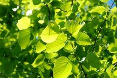 Fogli di verde alla luce solare Immagine Stock