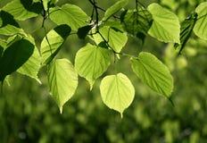 fogli di verde che emettono luce al sole Fotografia Stock