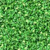 Fogli di verde con il reticolo senza giunte di luce solare Fotografia Stock