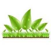 Fogli di verde con le gocce dell'acqua Fotografie Stock Libere da Diritti