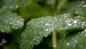 Fogli di verde con le goccioline di acqua archivi video