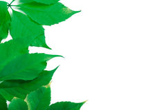 Fogli di verde con lo spazio della copia Fotografie Stock Libere da Diritti