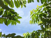 Fogli di verde contro il cielo Fotografie Stock