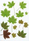 Fogli di verde degli elementi di disegno su bianco Fotografia Stock