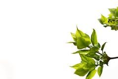 Fogli di verde del lillà fotografia stock
