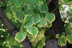 Fogli di verde del linden Fotografie Stock Libere da Diritti