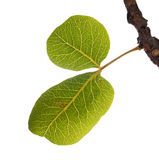 Fogli di verde del pistacchio immagini stock libere da diritti