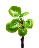 Fogli di verde del salice alla sorgente Fotografia Stock