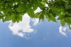 Fogli di verde dell'albero Immagini Stock
