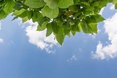 Fogli di verde dell'albero Fotografia Stock