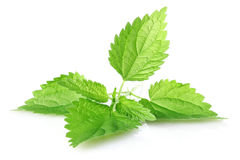Fogli di verde dell'ortica Fotografia Stock