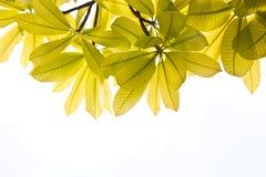 Fogli di verde della natura della priorità bassa Immagini Stock Libere da Diritti