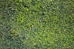 Fogli di verde della parete Immagini Stock