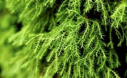 Fogli di verde della sorgente Immagine Stock
