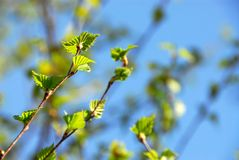 Fogli di verde della sorgente Fotografia Stock Libera da Diritti
