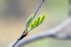 Fogli di verde della sorgente Fotografie Stock