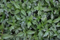 Fogli di verde delle piante Fotografie Stock Libere da Diritti