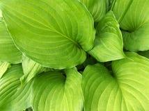 Fogli di verde di Alocasia Fotografia Stock Libera da Diritti