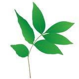 Fogli di verde di un albero Immagini Stock Libere da Diritti