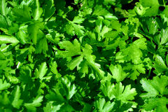 Fogli di verde di un prezzemolo Fotografie Stock Libere da Diritti