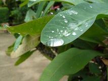 Fogli di verde dopo la pioggia Fotografia Stock