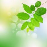 Fogli di verde e priorità bassa di armonia Immagine Stock Libera da Diritti