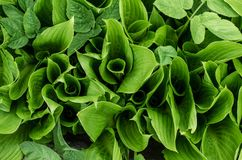 fogli di verde Foglie di Bush Fotografia Stock Libera da Diritti