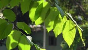 Fogli di verde in giorno pieno di sole stock footage