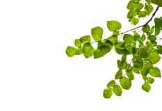 Fogli di verde isolati Fotografia Stock Libera da Diritti