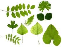 Fogli di verde isolati Immagini Stock Libere da Diritti