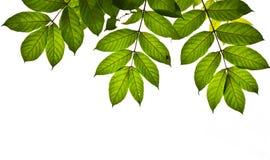 Fogli di verde isolati come priorità bassa Immagine Stock Libera da Diritti