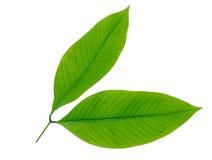 Fogli di verde isolati su priorità bassa bianca Fotografie Stock Libere da Diritti