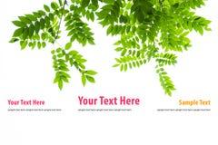 Fogli di verde isolati su priorità bassa bianca fotografia stock