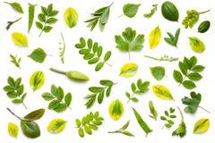 Fogli di verde isolati su priorità bassa bianca Immagine Stock Libera da Diritti