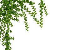 Fogli di verde isolati su priorità bassa bianca Immagine Stock