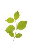 Fogli di verde isolati su un bianco. Fotografia Stock