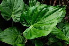 fogli di verde Pianta tropicale con la foto fresca del fondo della foglia Immagine Stock