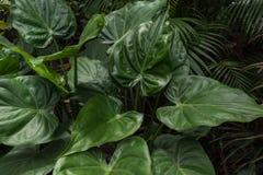 fogli di verde Pianta tropicale con la foto fresca del fondo della foglia Fotografie Stock Libere da Diritti