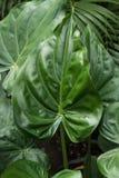 fogli di verde Pianta tropicale con la foto fresca del fondo della foglia Fotografia Stock