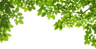 Fogli di verde su priorità bassa bianca Immagini Stock Libere da Diritti